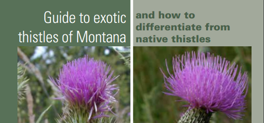 Weeds_Thistle_Guide